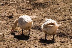 Ducks. That eat in the middle of field Royalty Free Stock Images