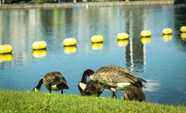 Ducks eating on the grass by the water. In a sunny day Stock Photography