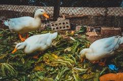 ducks eating Stock Photo