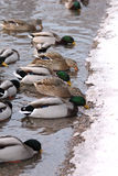 Ducks eating at a lake border Royalty Free Stock Photo