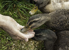 Ducks Eating Out of a Man's Hand Stock Images