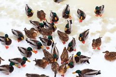 Ducks eating on snow. Top view. royalty free stock photo