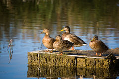 Ducks and ecology Royalty Free Stock Photo