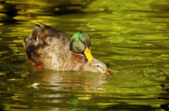 ducks editable влюбленность eps полная Стоковое Изображение