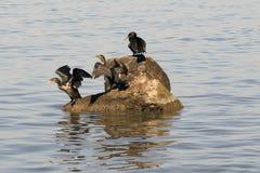 ducks el capillatus del phalacrocorax (el cormorán de los temmincks) Imágenes de archivo libres de regalías
