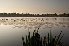 Ducks on Ellesmere Lake in sunrise light. Ellesmere Lake in Shropshire at sunrise with ducks silhouetted in the early morning light stock photography