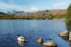 Ducks on Elterwater Royalty Free Stock Image