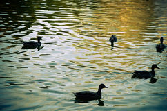 Ducks on an emerald green lake at evening Stock Photography