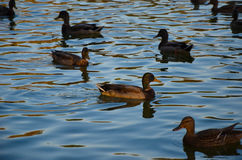 Ducks on an emerald green lake at evening Royalty Free Stock Photo