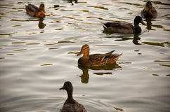 Ducks on an emerald green lake at evening Stock Photos