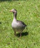 Ducks enjoy the green grass in the english garden Royalty Free Stock Photos