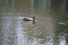 One duck follows the wake of another in a small pond on Amelia Island