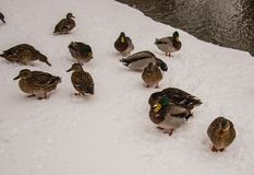 Ducks enjoying snow in gothenburg Stock Images