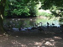Ducks enjoying themselves. On a lovely day in Markeaton Park, Derby stock images