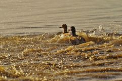 Ducks, Escape, Tracking, Riot, Pair Stock Images