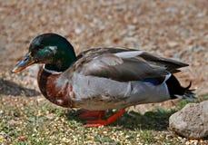 Ducks in Estes Park Colorado Stock Photo
