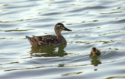 Ducks family. Female mallard duck and her funny child Stock Image