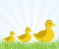 Ducks family Royalty Free Stock Images