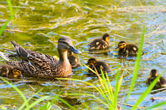 Ducks family Stock Photos