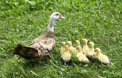Ducks family Stock Image