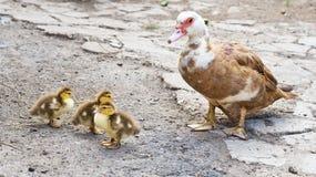 Ducks family Royalty Free Stock Photos