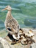 Ducks family. Senior duck with junior ducks at the lake royalty free stock images