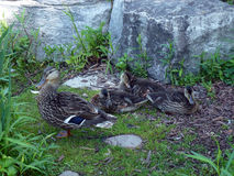 Ducks Family Royalty Free Stock Photo