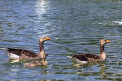 Ducks. Family of birds taking a walk. Photography of natural background. two adults with their ducklings. Lake located in germany stock photo