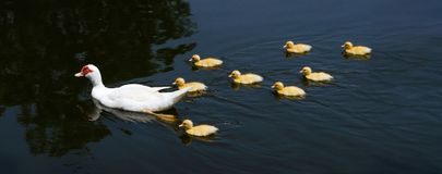Ducks family, Cute white mother-duck and yellow ducklings swimming on a pond.  stock photography