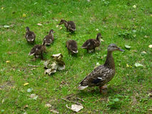 Ducks' family. Duck and ducklings on the grass royalty free stock images
