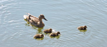 Ducks family. Duck family floating on the water, Lithuania stock photo