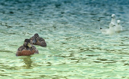 Ducks family. Duck family swimming at New Zealand beach stock image