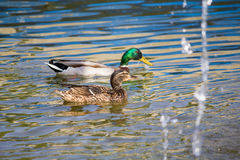 Ducks family. Female (foreground) and male (Anas platyrhynchos Royalty Free Stock Images