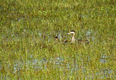 Ducks family on the flooded field. Aquatic bird on the flooded field stock images