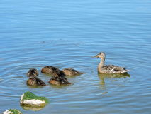 Ducks family in lake, Lithuania. Wild duck family floating on water in lake, Lithuania stock photo