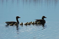 Ducks` family on the late. Ducks` family swimming on the late. Adult ducks together with little kids Stock Photo