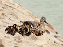 Ducks family Royalty Free Stock Photography