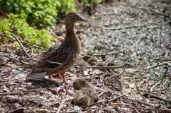 Ducks family in nest in border river. Closeup of Ducks family in nest in border river stock photography