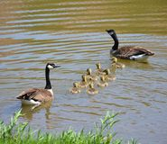 Ducks family in a pond. At summer time in Minnesota, USA royalty free stock photography