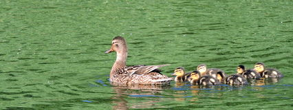 Ducks family. Swim in water, Lithuania stock photo