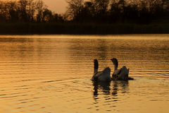 Ducks Family Swimming During The Sunset Stock Photo