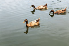 Ducks family swimming and looking for food on water Stock Images
