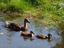 Ducks Family Royalty Free Stock Image