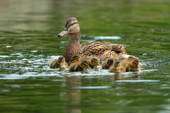 Ducks family on water surface. Mother and ducklings ( Anas Platyrhynchos Stock Photo