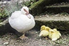 Ducks famiry in farm. Stock Photos