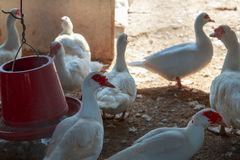 Ducks in farm and cage. Ducks on green grass in farm and cage Royalty Free Stock Photography