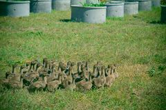 Ducks in farm and cage. Ducks on green grass in farm and cage Stock Images