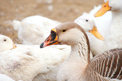 Ducks in the farm Royalty Free Stock Photo