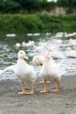 Ducks in farm Royalty Free Stock Photo