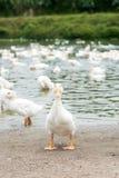 Ducks in farm Stock Photos